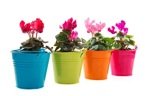 Colorful Cyclamen