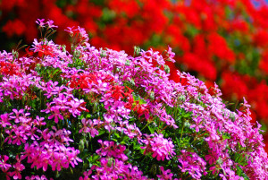 geranium_16358615_Subscription_XL.jpg