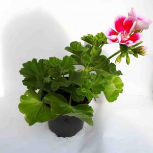 Géranium droit rose et blanc