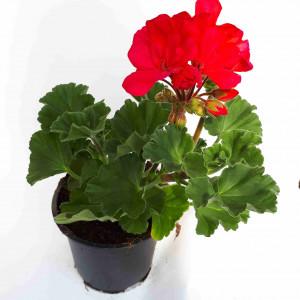 Géranium droit rouge