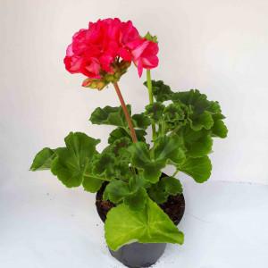 Géranium droit rose
