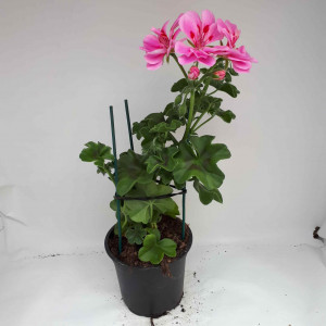 Géranium lierre double rose