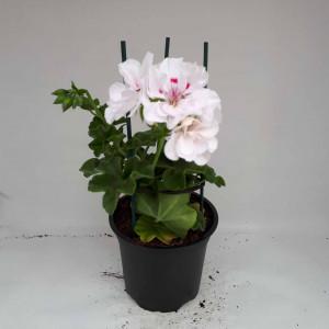 Géranium lierre double blanc