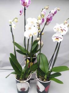 Orchidée trois tiges