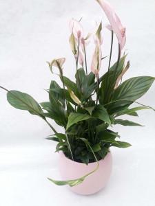 Spatyphilium rose